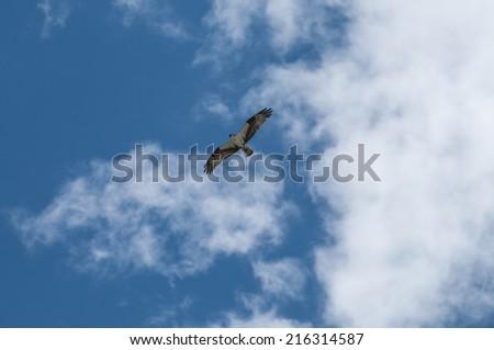Adult Osprey Bird in flight against blue sky - stock photo