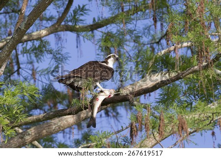 Adult Osprey  (Pandion haliaetus) - stock photo