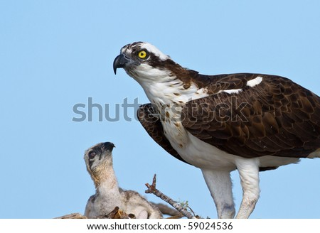 Adult Osprey with Chick - stock photo