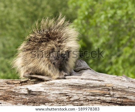 Adult Porcupine on a Log - stock photo