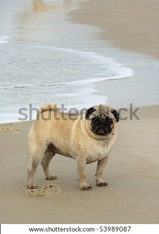 Adult Pug standing on beach with waves rolling in behind him. - stock photo