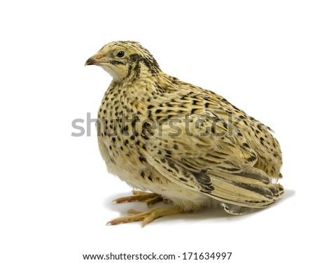 Adult quail - female of yellow strain; isolated on white background - stock photo