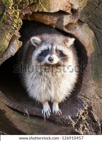 Adult raccoon at his nest, Leeuwarden, Holland - stock photo