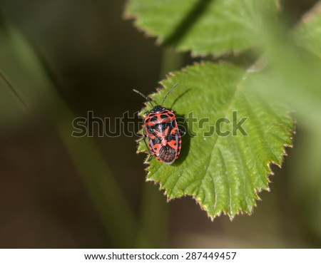 Adult Red and black Ornate Shield Bug (Eurydema ornata) on Lesvos - stock photo