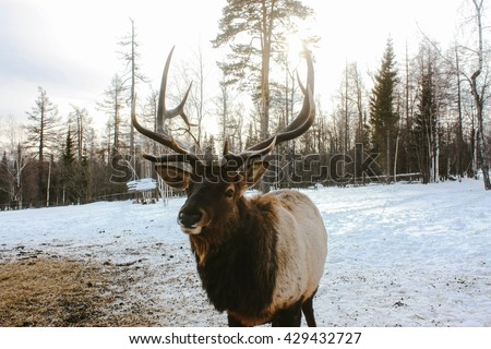 Adult red deer in winter ural forest - stock photo