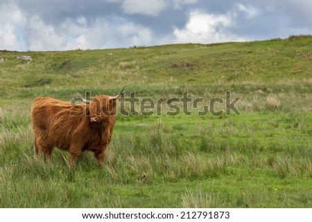 Adult red Scottish Gaelic or Highland Cattle in a meadow on the Isle of Lewis and Harris in the Outer Hebrides - stock photo