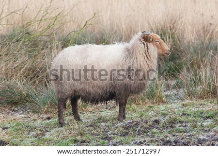 Adult sheep in the typical dutch landscape - stock photo