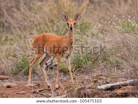 Adult steenbuck standing in the grass being very alert - stock photo