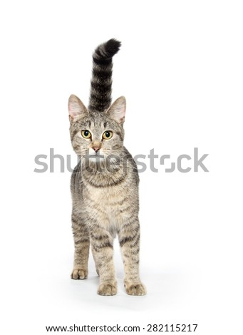 Adult tabby cat with tail high in the air isolated on white background - stock photo