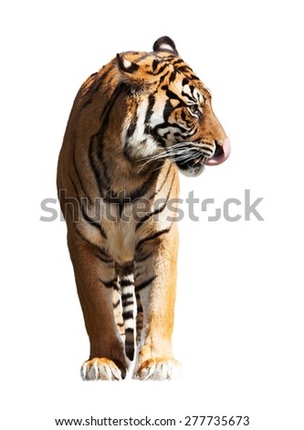 Adult tiger. Isolated  on white background - stock photo