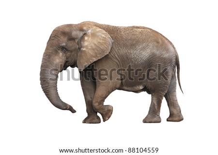 Adult walking elephant isolated on white background - stock photo