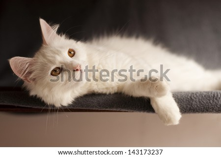 Adult white Persian cat - stock photo