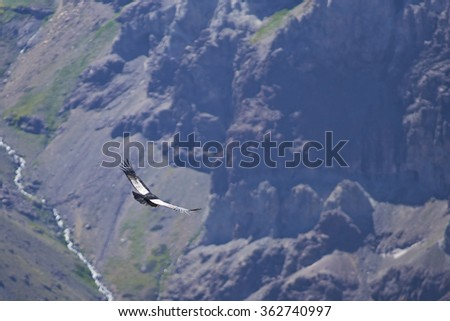 Adult wild Andean Condor (Condor Vultur gryphus) flying against a background of the Andes Mountains near Santiago in Chile. - stock photo