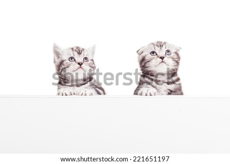 Advertising your pet product. Two curious Scottish fold kittens leaning at the copy space and looking away while being isolated on white background  - stock photo