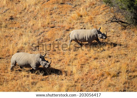 Aerial view of a pair of white rhinoceros (Ceratotherium simum) in grassland, South Africa - stock photo