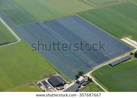 Aerial view of a red cabbage field in the Netherlands - stock photo
