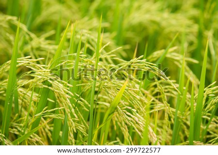 aerial view of rice field - stock photo
