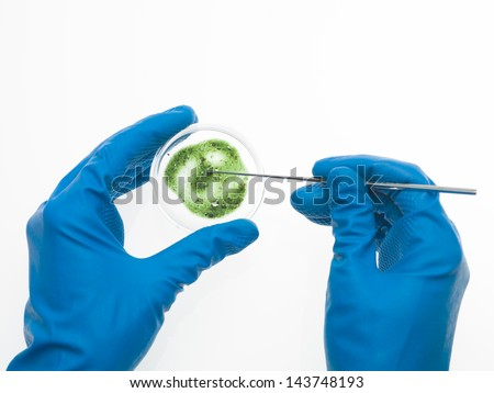 aerial view of two hands in blue rubber gloves, one holding a green mold specimen in a petri dish and the other retrieving a sample of it with a tool - stock photo