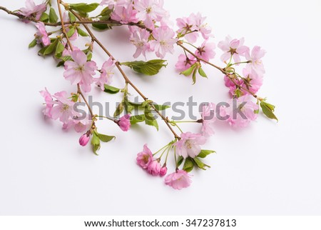 Aerial view pink Japanese Prunus Serrulata branches on white background.  Beautiful ornamental flowering cherry twigs in family Rosaceae Japan culture traditional custom Hanami Cherry Blossom Festival - stock photo