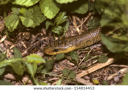 aesculapian snake reptile - stock photo