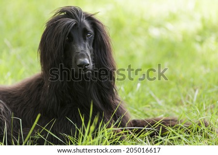 Afghan dog in France  - stock photo