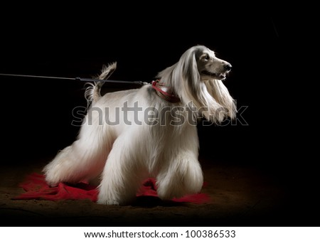 afghan dog indoors, studio shot - stock photo