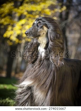 afghan hound autumn portrait - stock photo