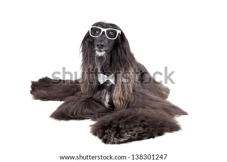Afghan Hound  on white background with glasses - stock photo