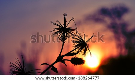 Afican sunset and silhouette of trees and black jacks - stock photo