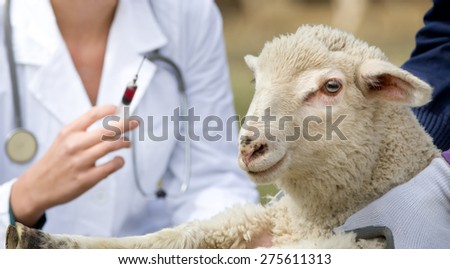 Afraid lamb in workers hands waiting for vaccination - stock photo