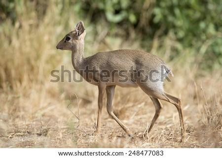 africa kenya Samburu game reserve, a  Dik Dik antelope - stock photo