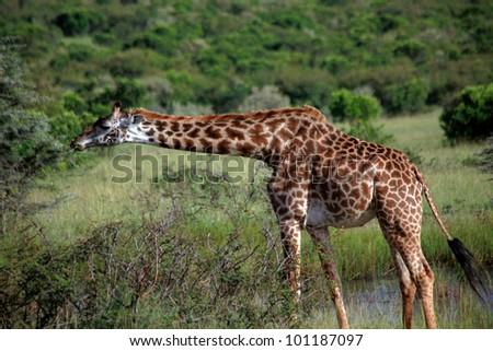 africa, masai mara/giraffes/ - stock photo