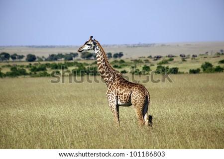 africa, masai mara/jiraffes/ - stock photo