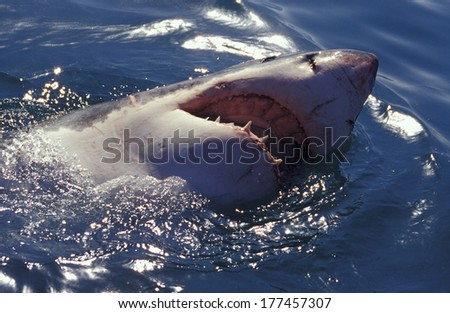 Africa, South Africa Great white shark (Carcarodon carcharias) - stock photo