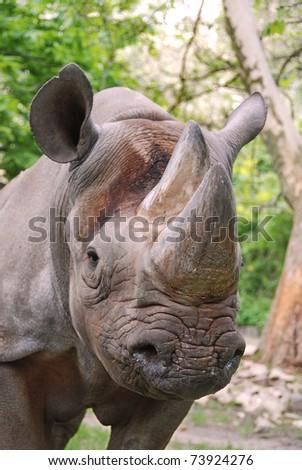 Africain rhinoceros - stock photo