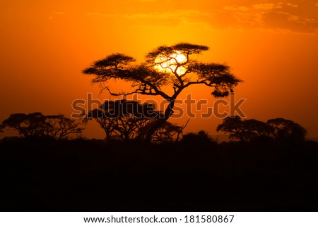African Acacia tree in the last daylight, Amboseli National Park, Kenya. - stock photo