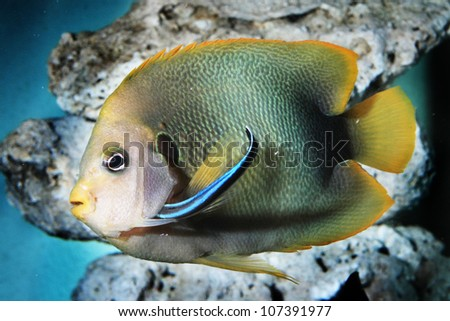 African Angelfish,Holacanthus africanus  with Cleaning  fish - stock photo