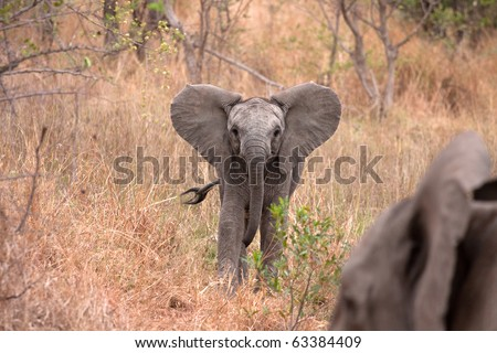 african baby young elephant in Kruger National Park, South Africa - stock photo