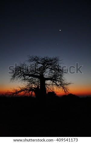 African Baobab Tree at Sunset - stock photo