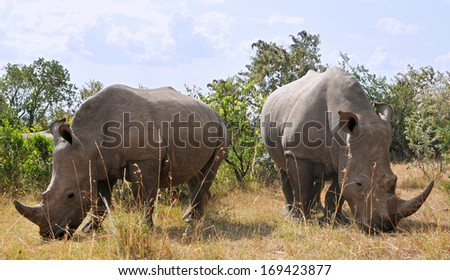 African black rhinoceroses (Diceros bicornis minor) on the Masai Mara National Reserve safari in southwestern Kenya. - stock photo