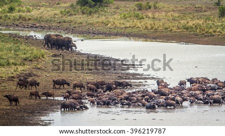 African buffalo and bush elephant in Kruger national park, South Africa ; Specie Syncerus caffer and Loxodonta africana - stock photo