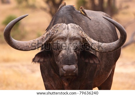 African buffalo bull - stock photo