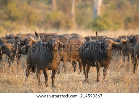 African Buffalo bull (Syncerus caffer) with herd - stock photo