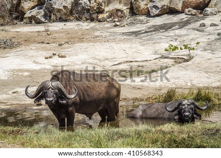 African buffalo in Kruger national park, South Africa ; Specie Syncerus caffer family of bovidae - stock photo