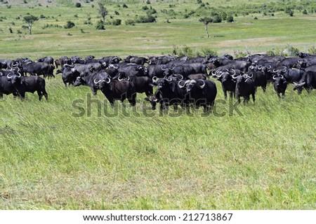African Buffalo in the African savannah Masai Mara - stock photo