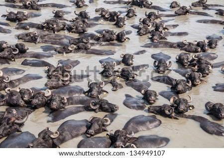 African buffalos in water - stock photo