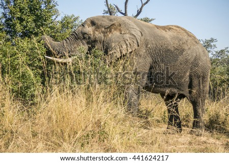 african bush elephant eating leaves in the bush in Kruger National Park - stock photo