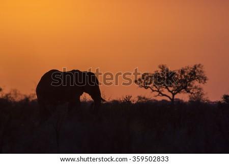 African bush elephant in Kruger national park, South Africa ; Specie Loxodonta africana family of Elephantidae - stock photo