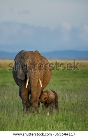 African Bush Elephant - Loxodonta africana, Kenya - stock photo