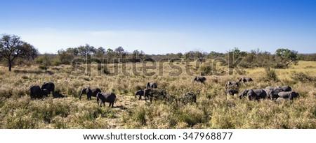 African bush elephant Specie Loxodonta africana family of Elephantidae - stock photo